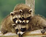 Raccoons / Raccoon 8 x 10 GLOSSY Photo Picture IMAGE #3