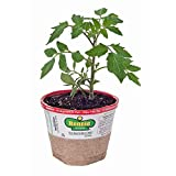 Bonnie Plants 0201 Better Boy Tomato Vegetable Plant