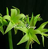 2 PCS Amaryllis bulbs True Hippeastrum bulbs flowers (Not seeds) Barbados Lily potted home garden Balcony plant Bulbous 22