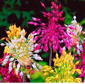 Amazon Com 2 Allium Fireworks Mix Blooming Sized Bulbs