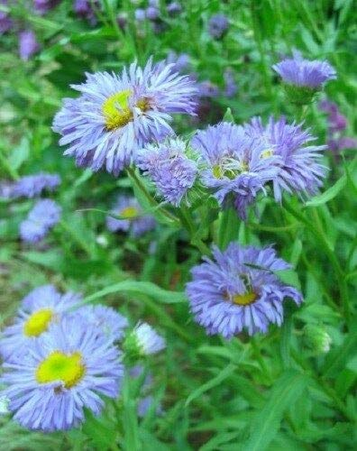 50+ ERIGERON Blue Beauty Perennial Flower Seeds Drought Tole