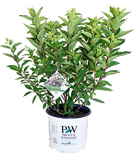 Proven Winners - Hydrangea pan. Zinfin Doll (Panicle Hydrangea) Shrub, white/pink/red flowers, #3 - Size Container ()