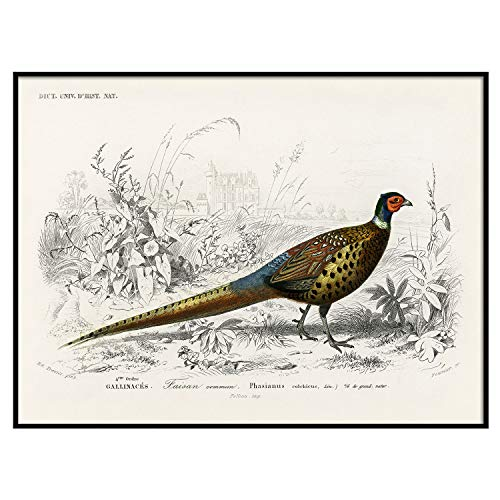 Pheasant Print, Antique Animal Painting, Vintage Drawing Poster Art, Ring-Necked Pheasant, Animal Bedroom Decor, American Wildlife | C156 18x24