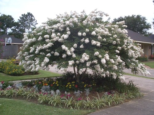 (Acoma White Crapemyrtle Tree - Live Plants Shipped 1 to 2 Feet Tall by DAS Farms (No California))