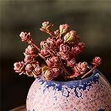 Live Succulent Lithops Cactus Plant | Sedum spurium cv.'Dragon's Blood