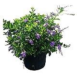 PlantVine Duranta erecta 'Sapphire Showers', Golden Dewdrop, Duranta Repens, Pigeon Berry - Tree or Bush - 10 Inch Pot (3 Gallon), Bush, Live Plant - 4 Pack