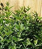 : Madder, Rubia Tinctorum, Rubiaceae, 20 Seeds per, Organic