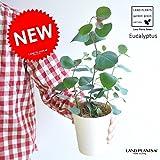 LAND PLANTS ユーカリ・ポポラス 4号サイズ
