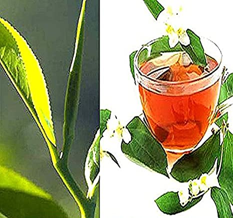 Original seeds Of Green Tea Seeds Camellia Sinensis Seed For Plant 40 Seeds