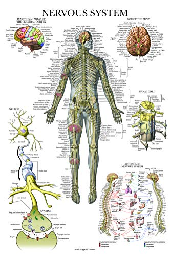 Nervous System Anatomy Poster - Laminated - Autonomic Nervous System & Brain Anatomical Chart - 18
