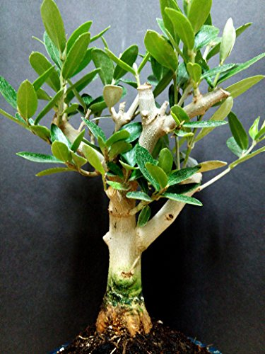 Miniature Bonsai - Olive Tree - 5 Year Old Plant by Miniature Bonsai (Image #2)
