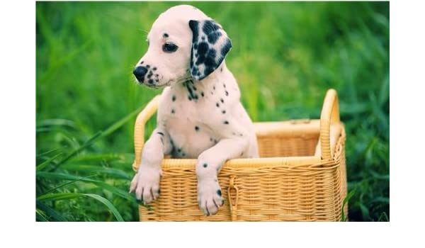 Amazoncom Dalmation Puppy Glossy Poster Picture Photo Dog Puppies