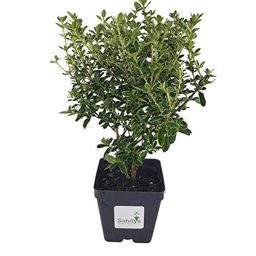Sandys Nursery Online Serissa Foetida White Flower Snowrose, Tree of a Thousand Stars, 4 Inch Pot
