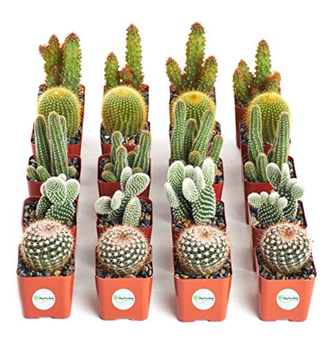 Shop Succulents Cool Cactus Live | Hand Selected for Health, Size | Assorted Pack of Cacti | Collection of 20, Gardener's
