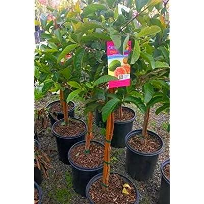 "Size 14""-18"" Live Pink Psidium guajava Common red Guava Tree from 1 Gallon Pot… : Garden & Outdoor"