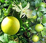 "Meyer Lemon Tree - Fruiting Size/Branched Plant - 8"" Pot - Indoors/Out"