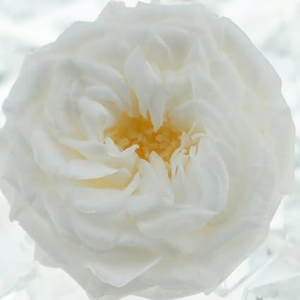 73c13e37fc50 Amazon.com  INVISIKAYAK Preserved fresh flower Mini Roses Flower ...