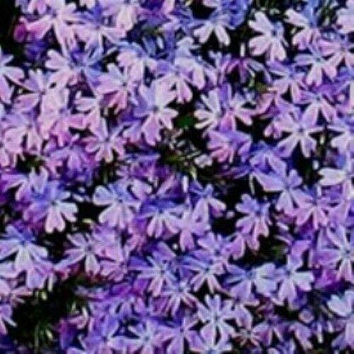 (Phlox SUBULATA 'Blue Emerald' - Creeping Phlox. Perennial. Plant by AchmadAnam)