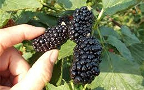 3 Starter Plants of Natchez BlackBerry Bush Live Plant New Rubus by Andryani (Image #2)