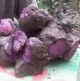 Pinkdose White Skin Purple Yam Japanese Purple Potato Or