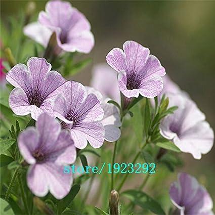 Amazon com : Big promotion Morning glory seeds petulantly seeds