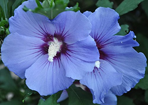 Spectacular Flowering Blue Marlin HIbiscus Cold Hardy Potted Plant, Great as a Accent Plant, Starter Plant