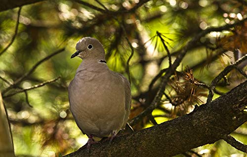 Photography Poster - Dove, Collared, Bird, City Pigeons - 24