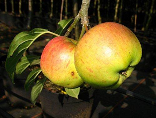 Cox Orange Renette Apfel Apfelbaum Obstbaum 100//150 cm Niedrigstamm s/ü/ß