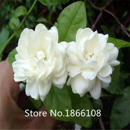 home & garden White jasmine seeds, Arabian jasmine aromatic plant seed mix blend of jasmine seeds minimum 20 / Pack