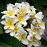 Heirloom 5 Seeds Plumeria alba Yellow White Flower Frangipani Small Tree Shrub