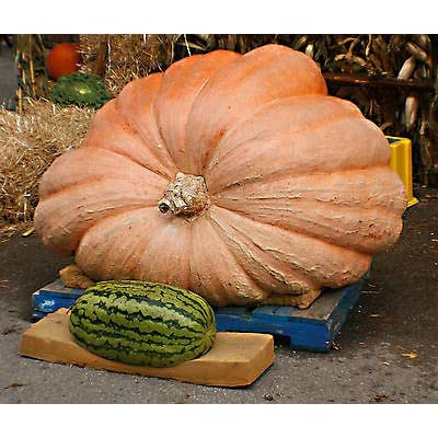 Pumpkin, dills, DILL'S Atlantic Giant, Worlds Largest Record, 5 Seeds! : Garden & Outdoor