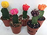 Succulent Oasis 5 Moon Cactus, Assorted
