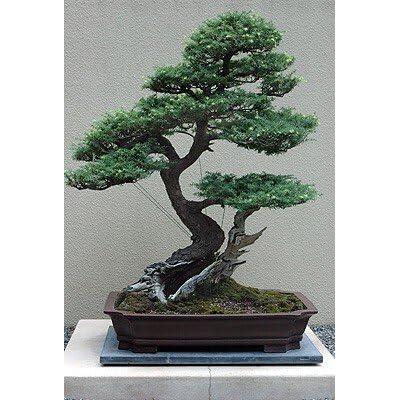 Western Hemlock 50 Seeds - Tsuga - Shrub/Tree/Bonsai : Garden & Outdoor