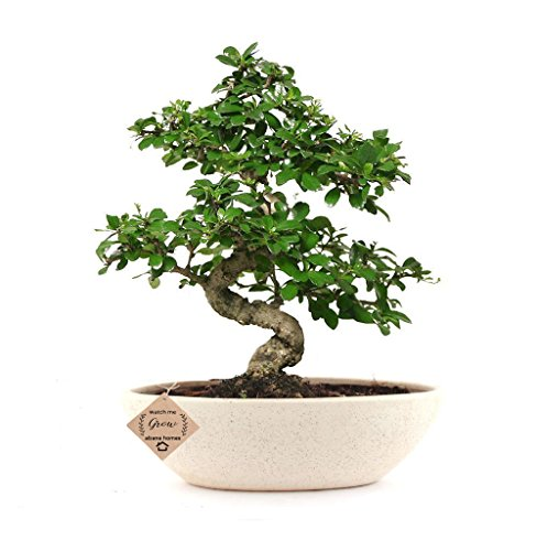 Abana Homes Carmona Flowering Bonsai Plants with Ceramic Pot ( Air Purifying Plant)