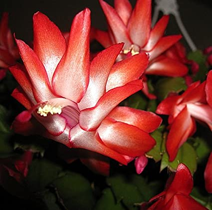 red christmas cactus plant zygocactus 4 - Red Christmas Flower