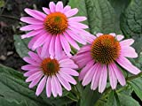 Echinacea Live Plant - Beneficial for Bees - Attracts Butterflies-1 Quart