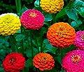 75+ California Giant Zinnia Mix Seeds - DH Seeds - Beautiful Large Blooms - UPC0687299670666
