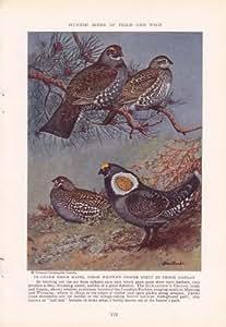 1936 Richardson Grouse Sooty Grouse - Allan Brooks Vintage Bird Print