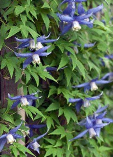 amazoncom blue bird macropetala clematis 15 seeds vine garden u0026 outdoor
