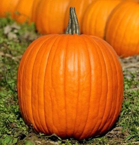 Pumpkin Seeds, Jack O Lantern, Heirloom Pumpkin Seeds, Non-GMO Seeds, 30ct ()