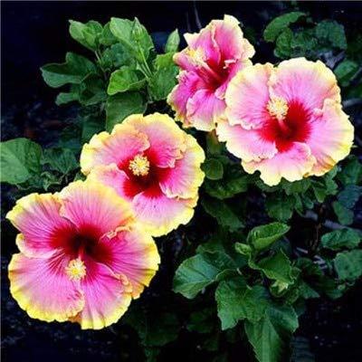 Amazoncom Kasuki On Sale 200pcs Hibiscus Plants 24kinds