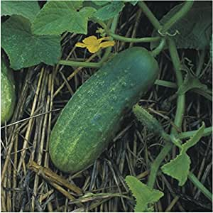 "90 Seeds, Pickling Cucumber ""Bush Pickle"" (Cucumis sativus) Seeds By Seed Needs"