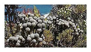 Brunia nodiflora - Common snowbush - 100 seeds