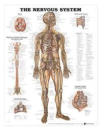 Nervous System Anatomical Chart