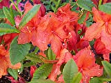 Azalea Japonica Vuyks Orange - Plant in 9cm Pot