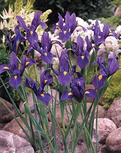 Pack 20 Dutch iris Bulbs 'Purple Sensation' Spring Garden Bulbs