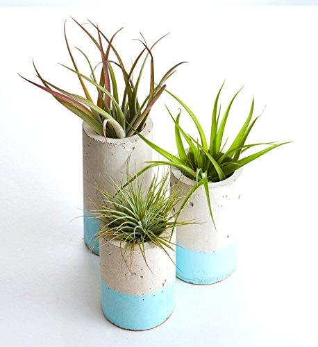 Shop Succulents Concrete Cylinder Trio with Air Plants (3, Blue)