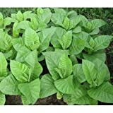 "Organic Tobacco seeds ""Burley"" (Nicotiana tabacum) Strong! Heirloom - 5000 SEEDS"