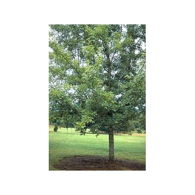 Silver Maple Tree 2 Year Old 4-5 Ft Tall : Garden & Outdoor