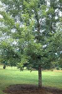 Silver Maple Tree 2 Year Old 4-5 Ft Tall